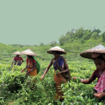A Study Report on Working Conditions of Tea Plantation Workers in Bangladesh